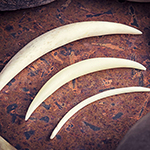 Bone septum tusk