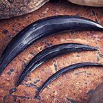 Blemished black horn septum tusk