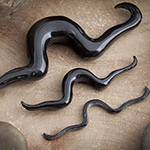Blemished black horn septum mustache (Toro)